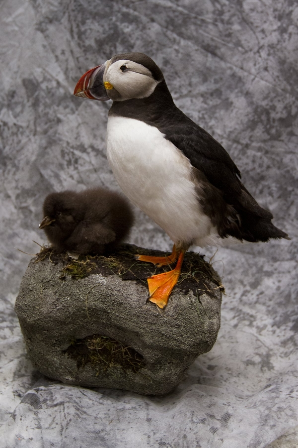 Stuffed puffin and chick, taxidermied, taxidermy