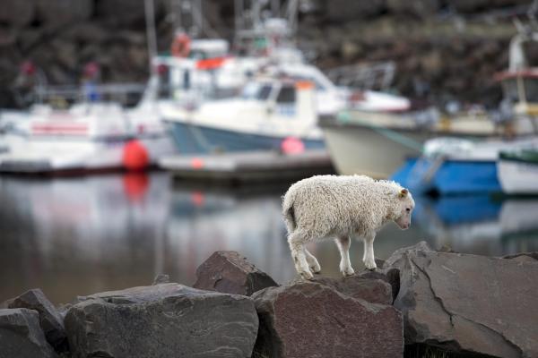 Strandir, vestfirðir, höfn, lamb