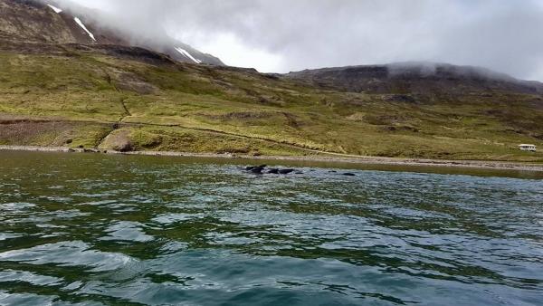 Pilot Whales, Norðurfjörður