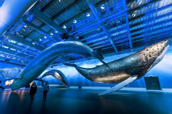 Whales of Iceland, hvalasafn, hvalir