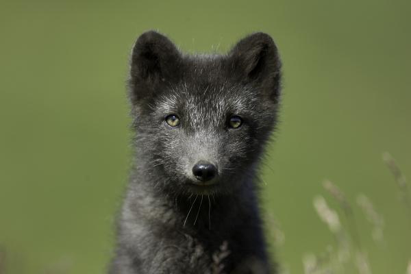 Arctic_fox.jpg