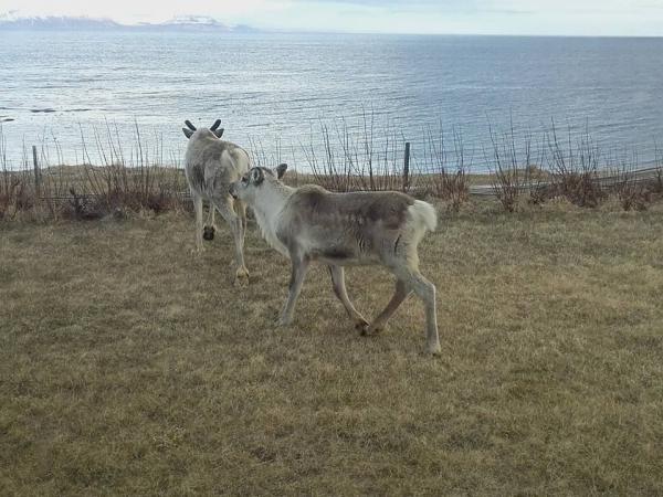 Hreindýr, reindeer, Bakkafjörður