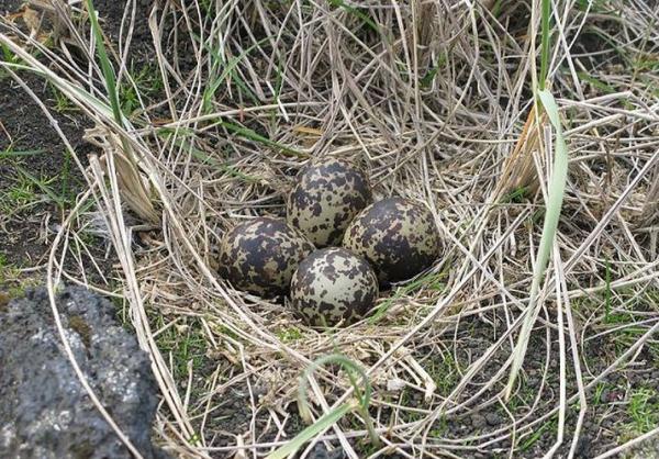 Golden plover nest