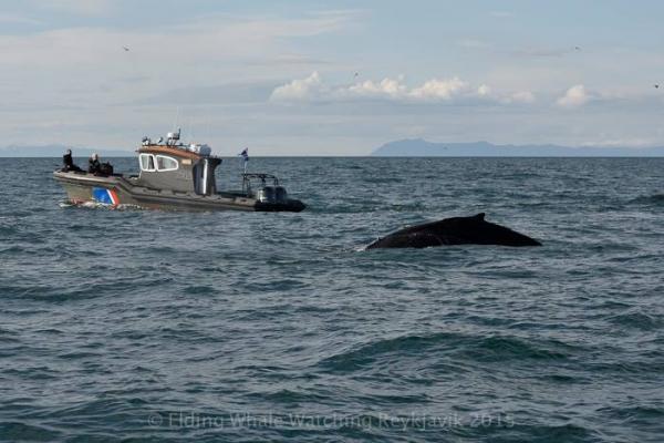 Humpback whale in Faxaflói entengled in nets