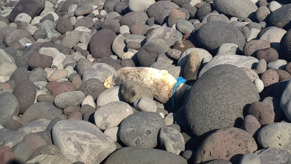 Sirtsey seal in distress