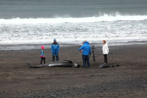 Beached pilot whales 2013, Rif