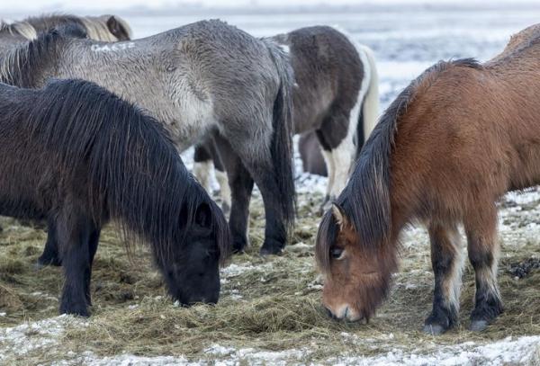 horses, winter coat