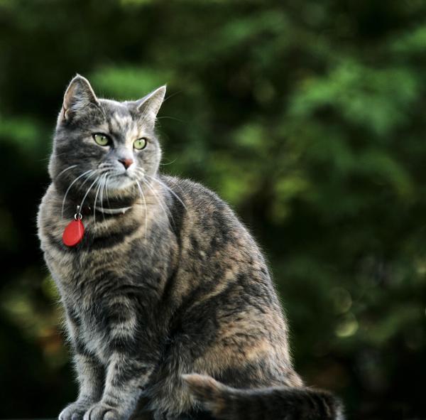Köttur, kisa, cat