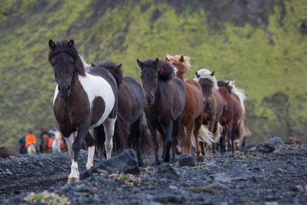 Hestar, stóð, réttir, hestur, horses