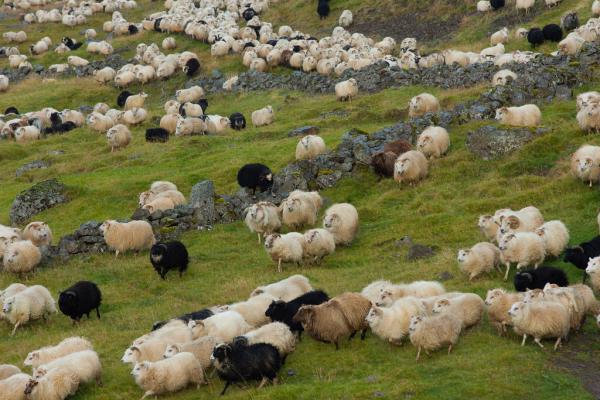 Kindur, sheep, réttir