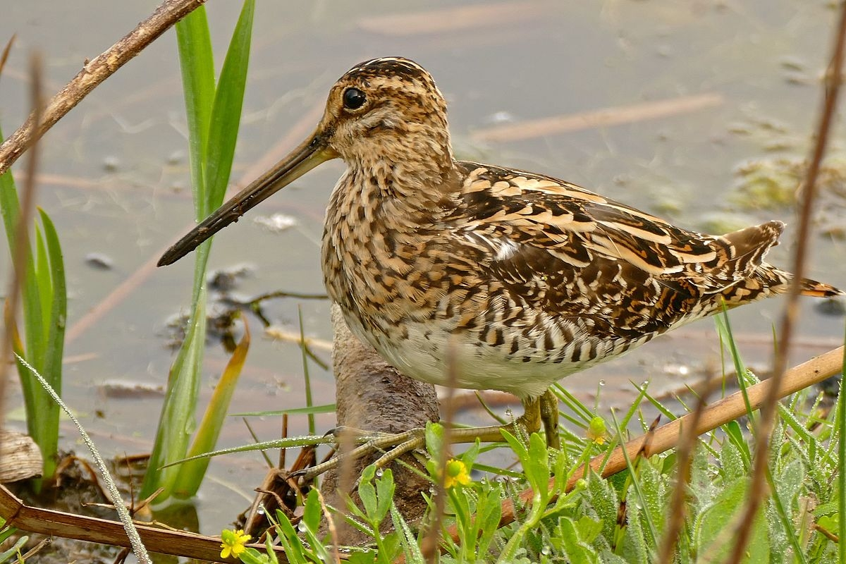 summer just around the corner the common snipe has returned from