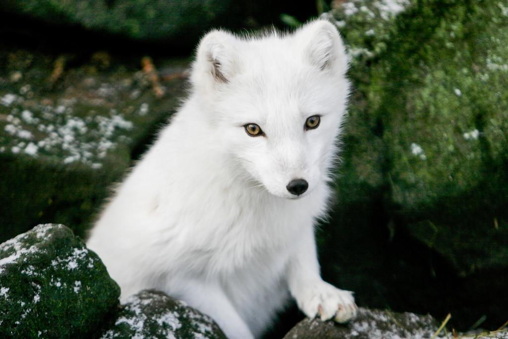 Worrying Decline For Iceland S Arctic Fox Population